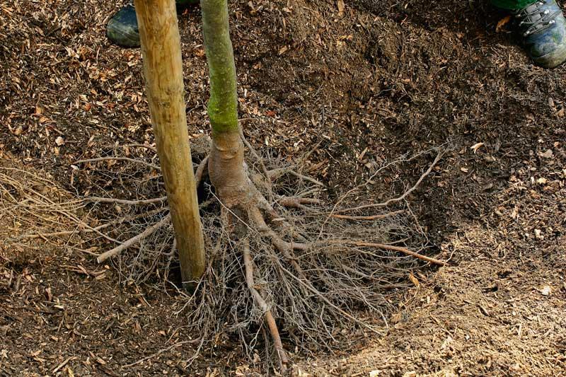 wortelsgroot